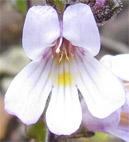 Euphrasia amplidens