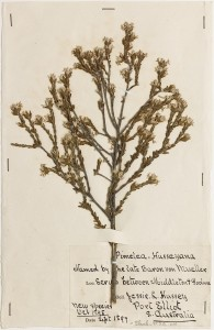 State Herbarium of South Australia, specimen AD 96920168