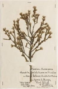State Herbarium of South Australia, specimen AD 96920168