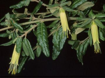 2015.11 Correa glabra var. leucoclada, Morialta C.P., photo by P.J. Lang