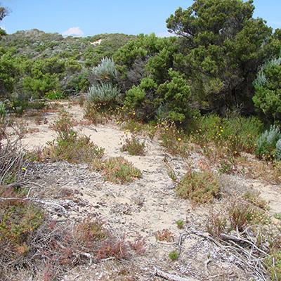 Podolepis rugata ssp. trullata, INP 0895, near Pondalowie, YP by T.M.Jaques, habitat crop sq