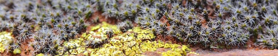 Grimmia sp. and and lichen Acarospora schleicheri, Flinders Ranges, September 2015