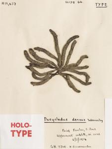 AD-A19437A Dasycladus densus