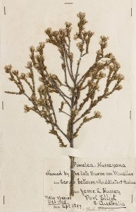 AD96920168 Pimelea phylicoides