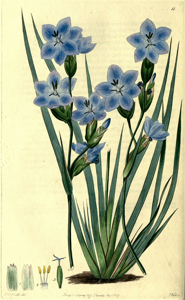orthrosanthus-multiflorus-illustration-by-e-d-smith-in-sweet-1827-1828-217355-edit-crop-small2