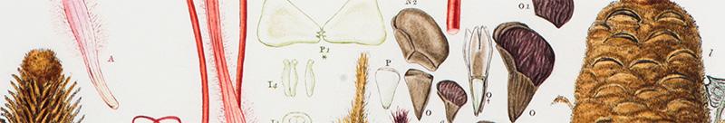 ferd-bauer-banksia-coccinea-01-800x136